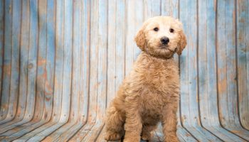 Goldendoodle puppies for sale at Petland Kennesaw