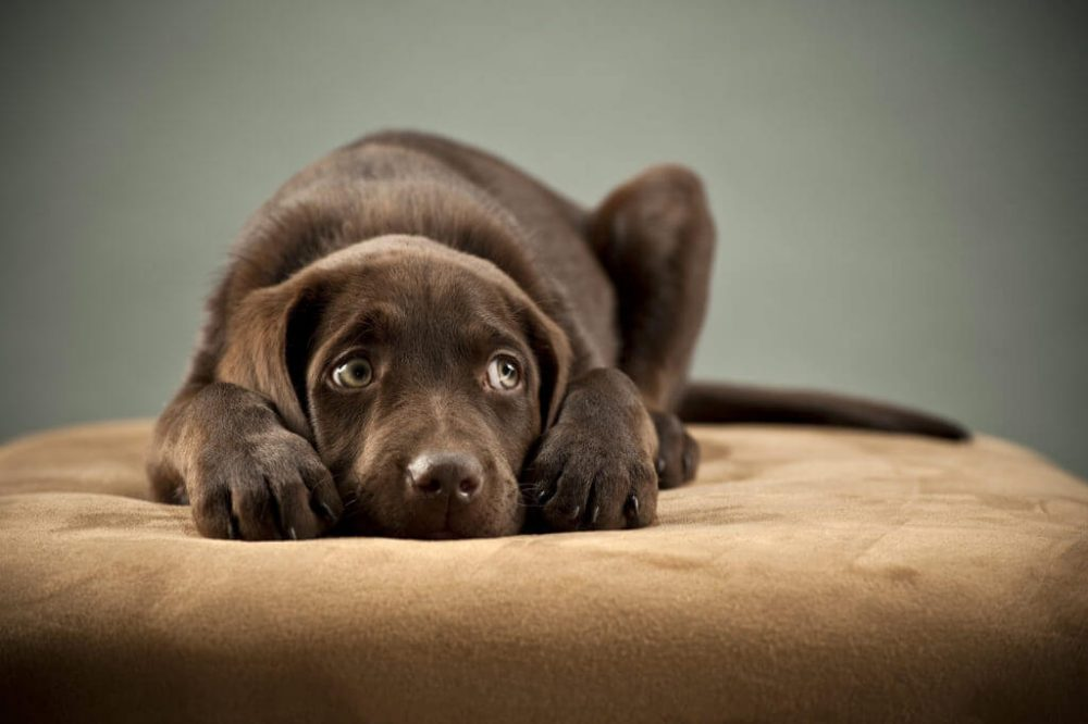 puppy with separation anxiety