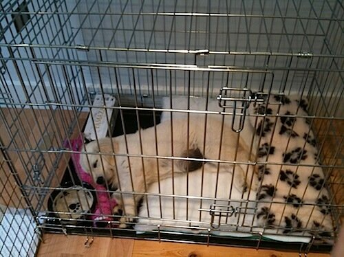Golden Puppy in Crate With Blankets