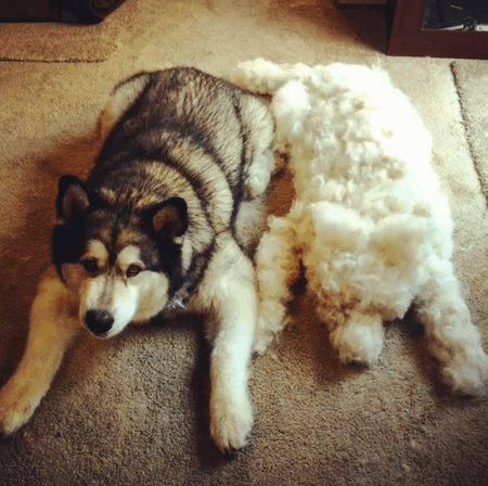 Husky with a shedded fake husky