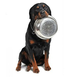 Rottie with Stainless Steel Bowl