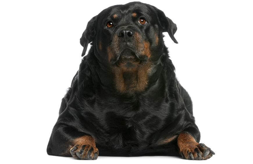Rottweiler Obese