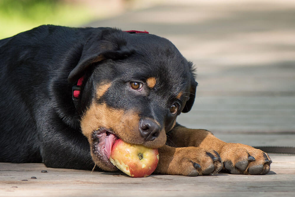 Rotweiler with an apple