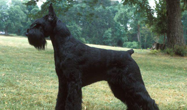 Giant Schnauzer Black