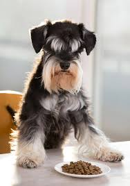 Schnauzer with plate of kibble