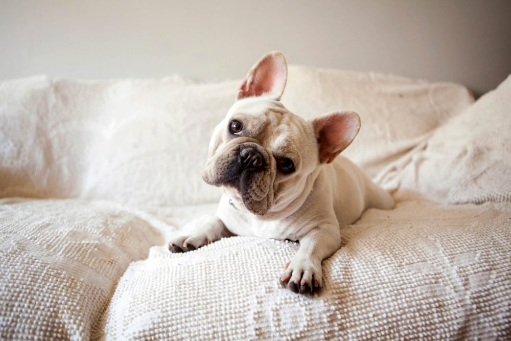 adorable frenchie laying on couch