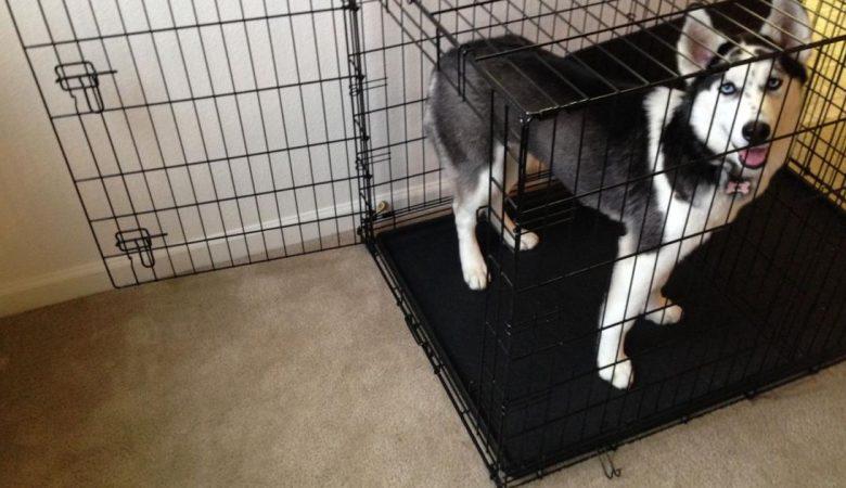 crate training husky